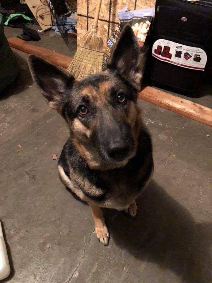 German Shepherd Dog Dog For Adoption In Hugo Mn Adn 750925 On
