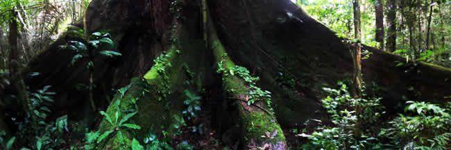 Arbol en la Selva Amazonica.