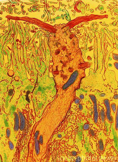 Coloured TEM of section through a smell receptor | Credit: Prof. P. Motta, University of La Sapienza, Rome > > > sciencephoto.com