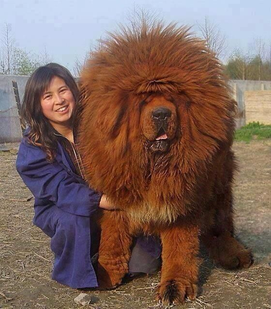 Chinese woman with a Tibetan Mastif.