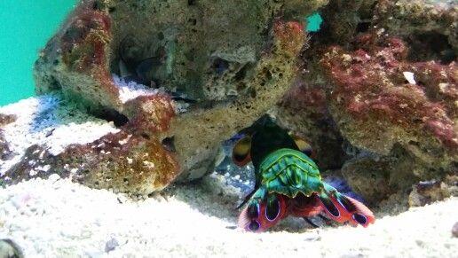 Say hi to the gorgeous peacock mantis shrimp-2 Oceans Aquarium (Waterfront,Cape Town)