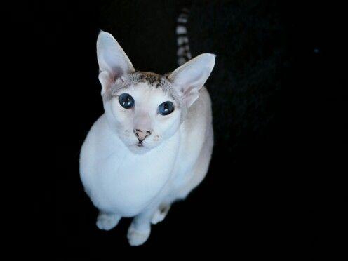 oriental cat, seychellois cat Enni.