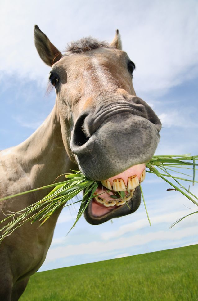 Male and female horses have a different number of teeth.