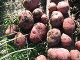 German Potato Varieties