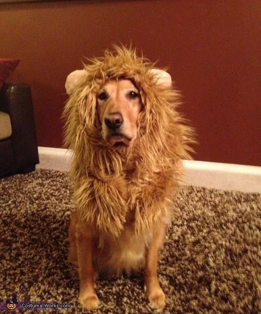 Amy: My golden retriever Tessa is wearing a lion costume I made. Simple to make - Measure the beast, sew the body to slip it over her head. Sew round ears...