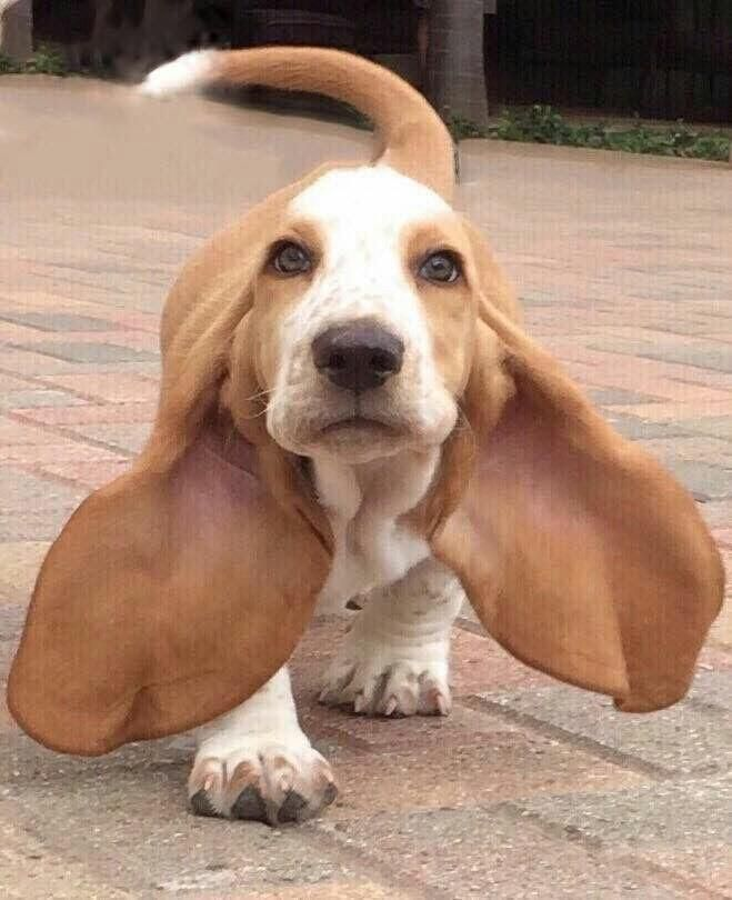 Pin By Felicia On Your Daily Dose Of Cute Hound Puppies Cute