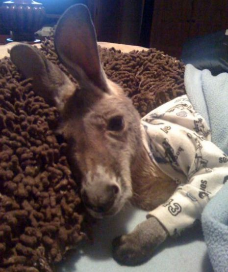 Drop everything. This is a baby kangaroo in pajamas.. in a bed laying on a pillow.