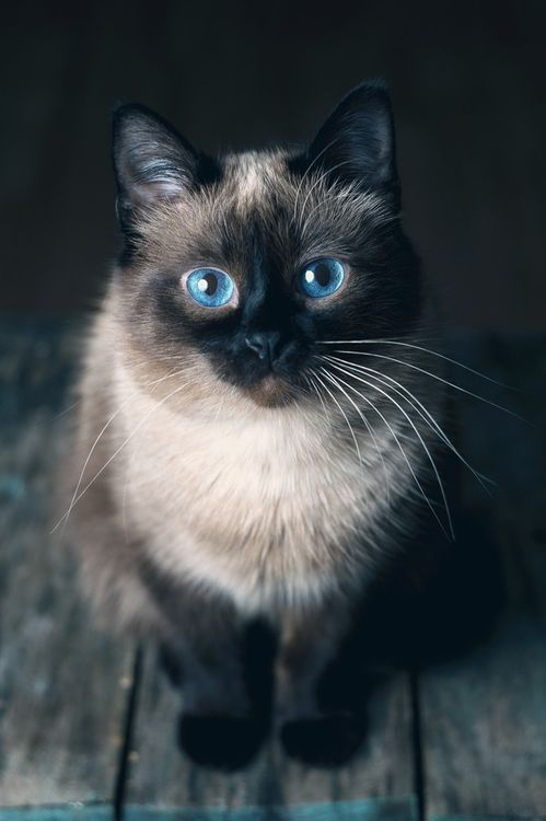 Cats have beautiful eyes, no matter what the color. These are a gorgeous blue, that belong to an equally gorgeous cat! #cats