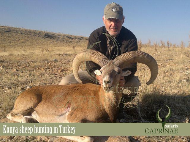 Hunt Konya Sheep in Turkey