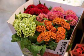 Целозия - Срезанные цветы - Срезка