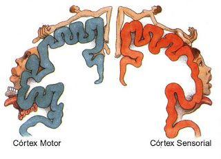 """La corteza somatosensitiva primaria humana es somatotópica: está organizada siguiendo un mapa de la superficie corporal al que se conoce como """"homúnculo somatosensitivo"""" y se representa con una figura humana distorsionada que refleja el espacio sensorial relativo de nuestras partes corporales respecto a la corteza cerebral. Este homúnculo motor evoluciona con la edad y difiere de una persona a otra. Interesante saber que hay un 'hombrecillo' en el cerebro examinando nuestra actividad..."""