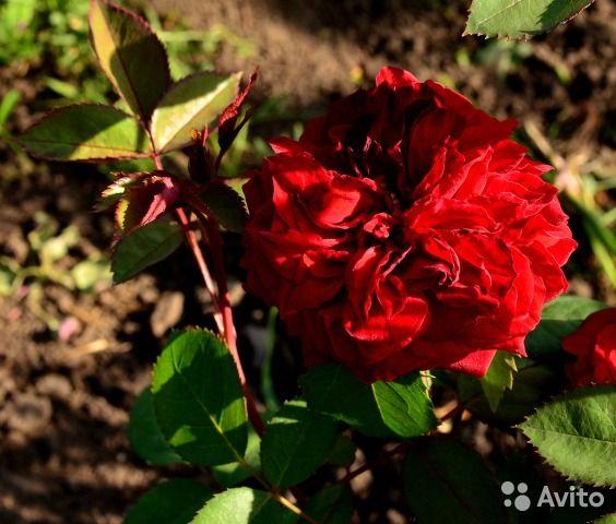 Саженцы роз из питомника Усынин, почтой — фотография №2