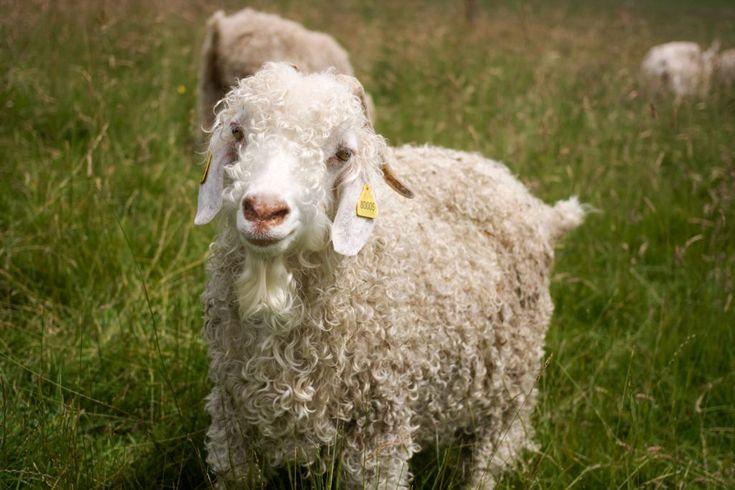"""Chèvre angora. Son nom est """"Douce"""". A la ferme Douce Laine, Sauxillanges. France."""