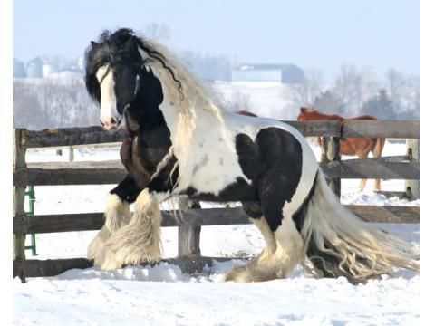 gypsy vanner....really just a beautiful horse