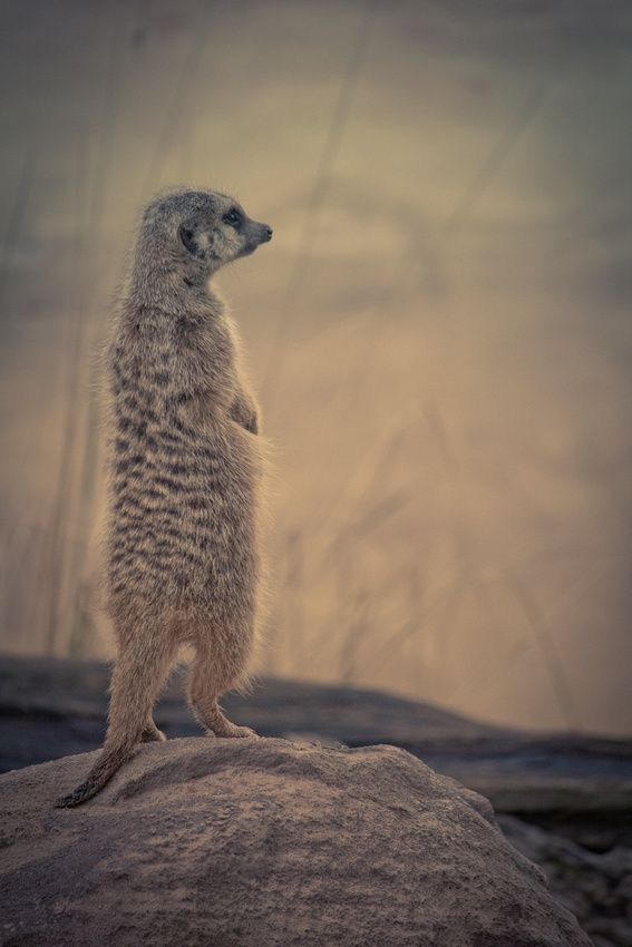 """Meerkat on Watch"""