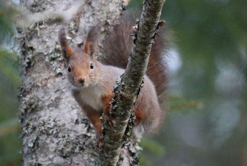 Red squirrel/ekorre.