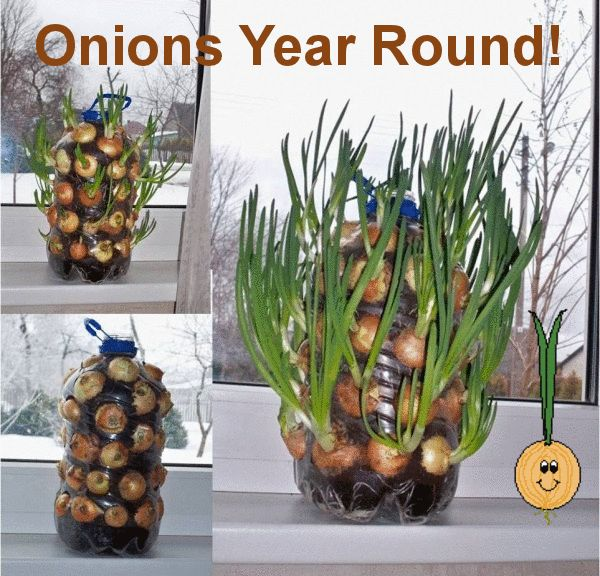 How To Grow An Endless Supply Of Onions Indoors - One Vibration