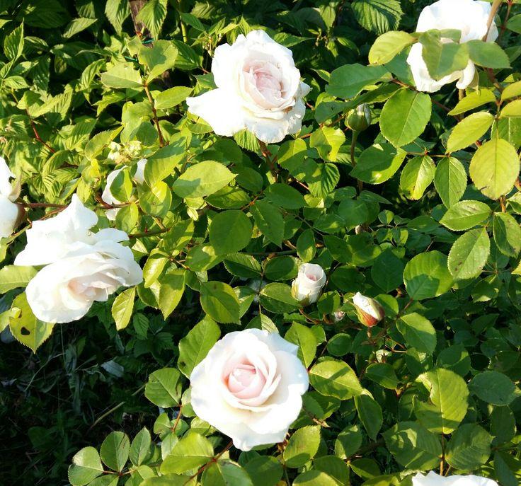 Rosa Swan lake