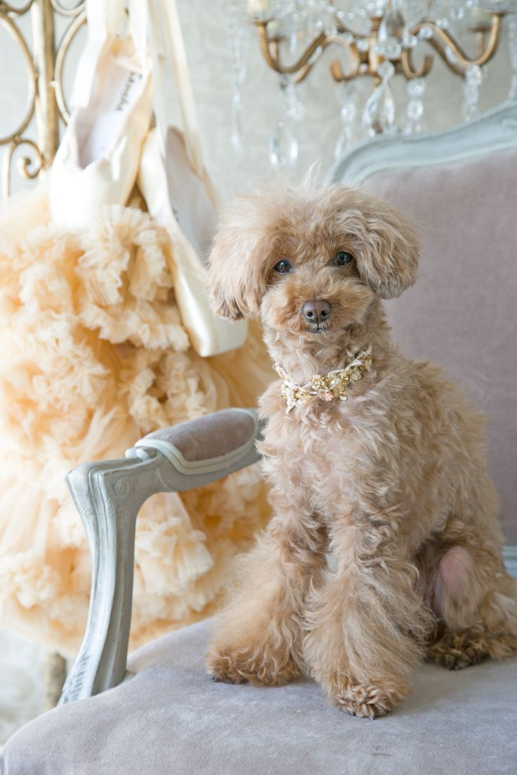 apricot poodle (yes this is a real breed of dog - i'd never heard of it)