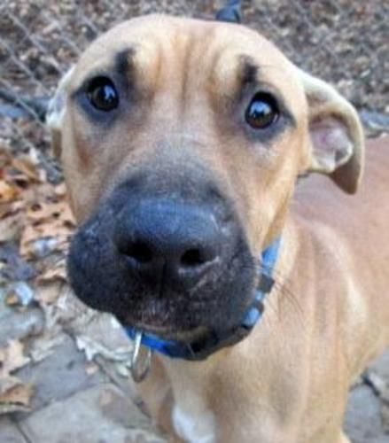 black mouth cur photo   Petfinder Adopted Dog   Black Mouth Cur   Staten Island, NY   Bailey ...