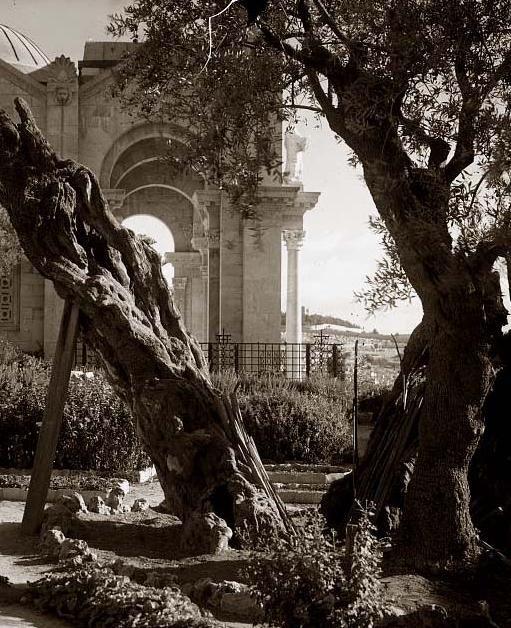 Garden of Geshemani, oh to walk where Jesus Walked.