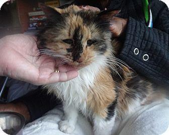New York, NY - Calico. Meet Love Bug LUCKY, a cat for adoption. http://www.adoptapet.com/pet/17371455-new-york-new-york-cat