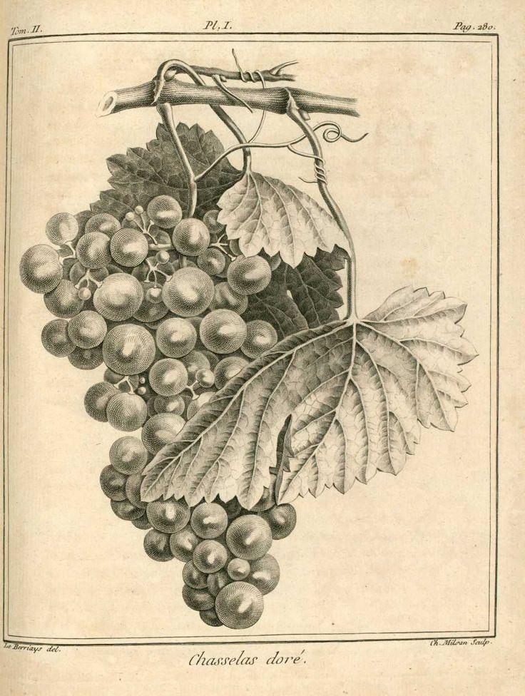 img/dessins-gravures arbres fruitiers et fruits/raisin chasselas dore - vigne.jpg