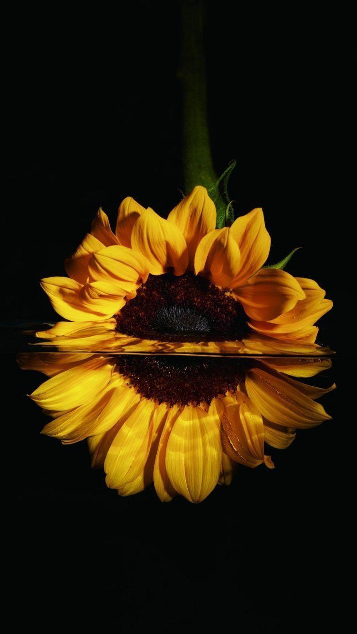 Schöne Tapete Sunflower ::… Klicken Sie hier, um die schöne Tapete Sunflower herunterzuladen … – Nature Wallpaper – #die #herunterzuladen #Hier …