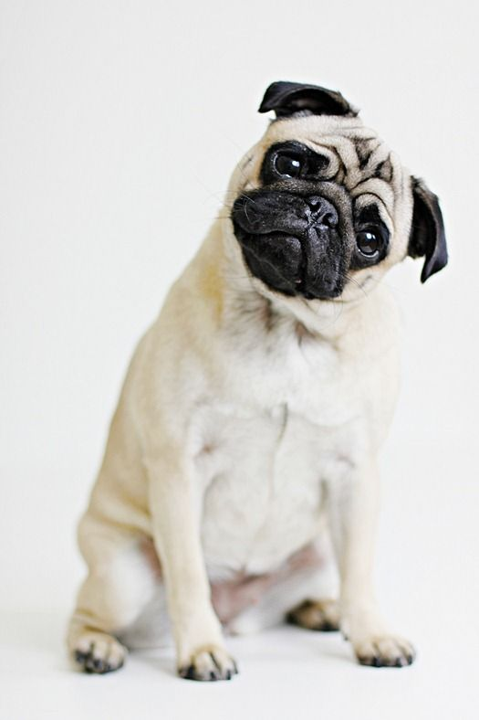 Pug ~ how I love it when they tilt their head listening to your voice!