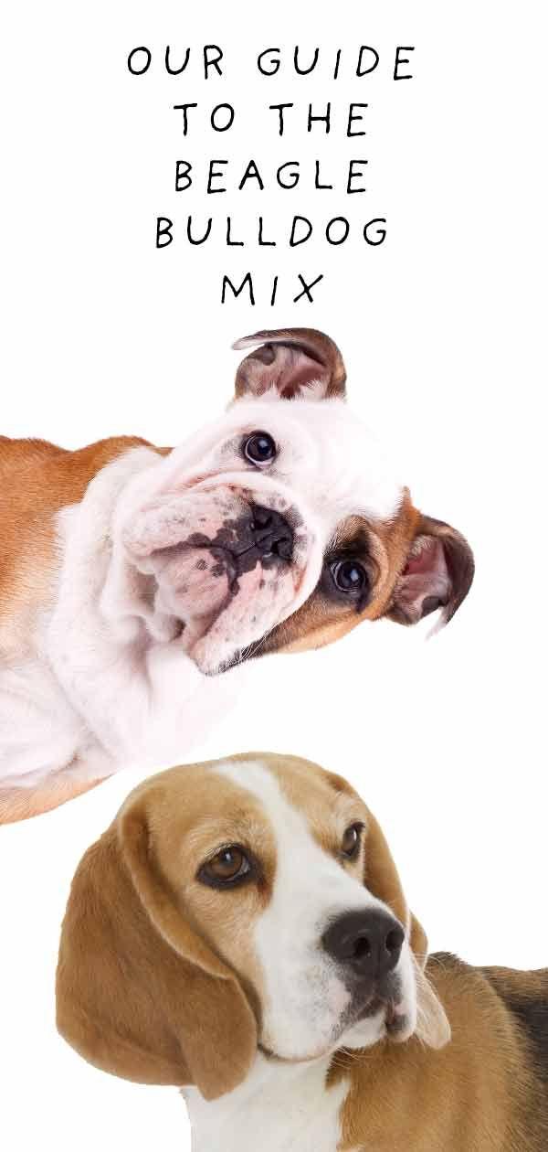 Beabull The Beagle English Bulldog Mix Beagle Training Your