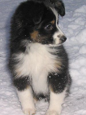 Mini Aussie - his name will be Padfoot :)