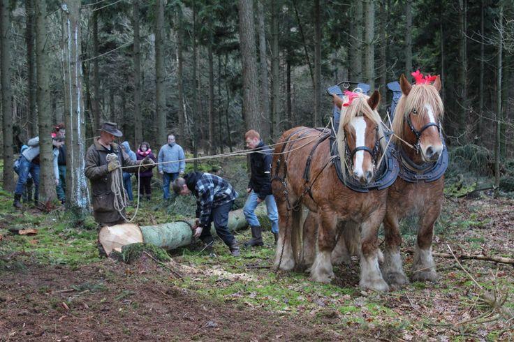 Trekpaarden in de Westerwoldse bossen