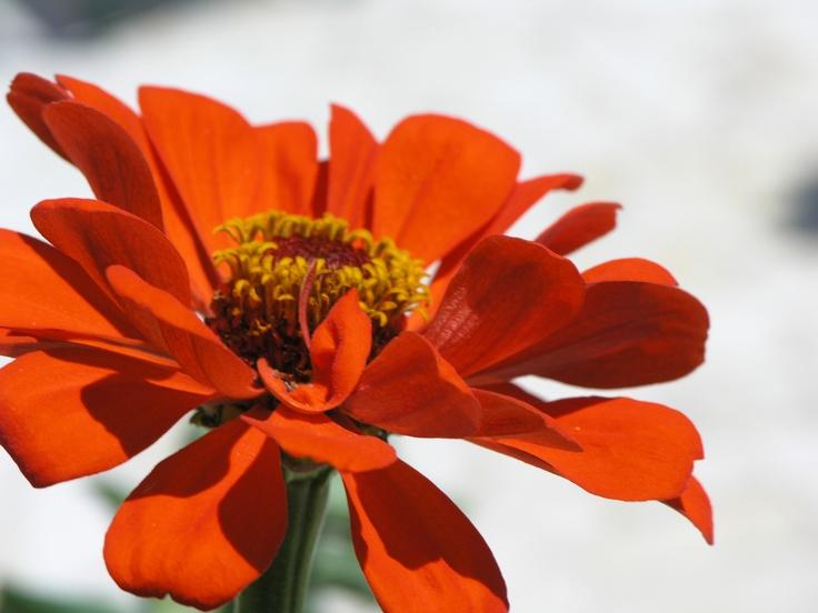 orange colour zinnia at our veranda