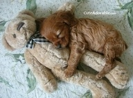 so adorable.Nap Time, Bears Hug, Cute Puppies, Little Puppies, Puppy Love, Teddy Bears, My Heart, Cocker Spaniels, Animal