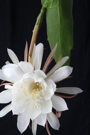 If you are an early riser and usually early to bed - this plant is not for you! The queen of the night cactus flowers between dusk and dawn -...