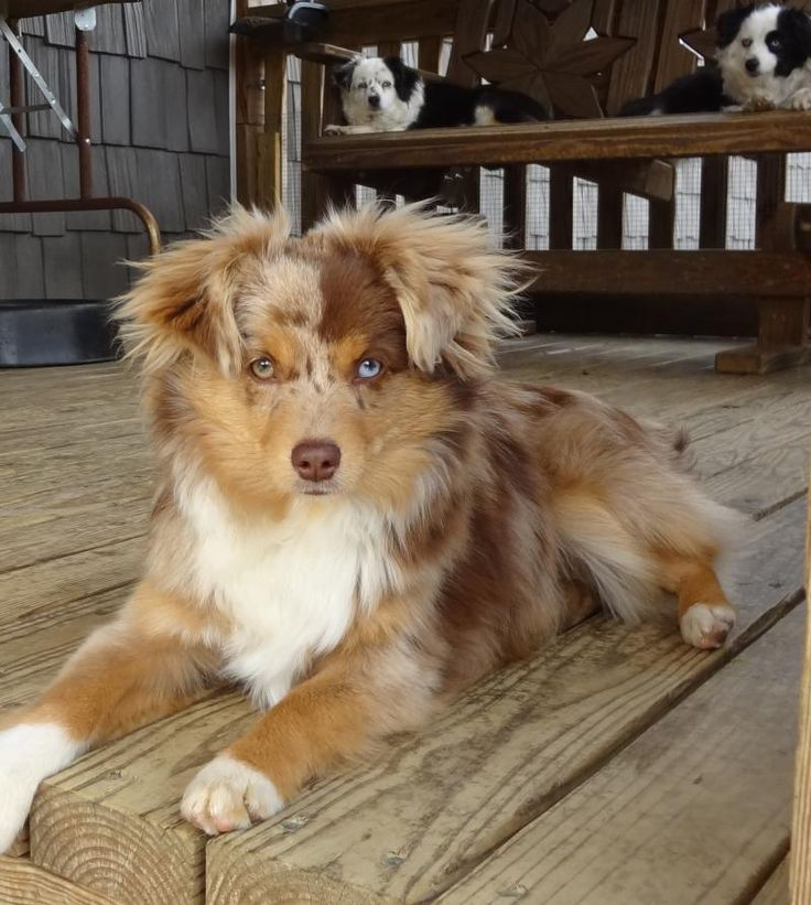 KC MURPHY Toy Aussies Unleashed - Miniature Australian Shepherd Mini Puppy Dogs