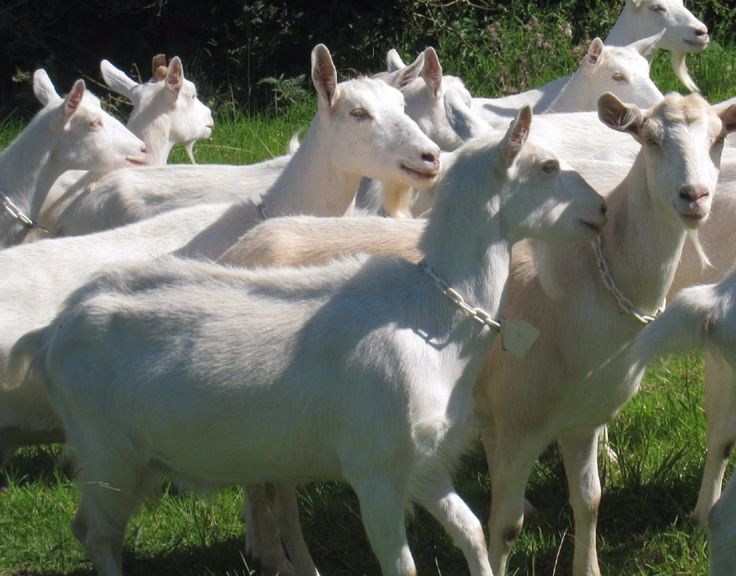 2017 Boer Goats/Live SHeep for Sale