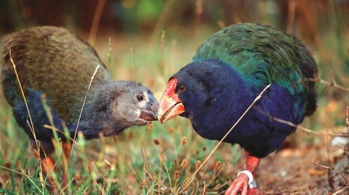 Takahe fugle