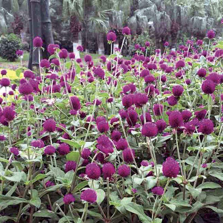 Las Vegas Purple Gomphrena Seeds
