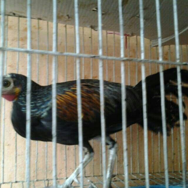 Saya menjual Ayam Hutan Hijau Jantan Mulus Tanpa Cacat Lumayan Jinak seharga Rp600.000. Dapatkan produk ini hanya di Shopee! http://shopee.co.id/ishakjuragancemani/4844992 #ShopeeID