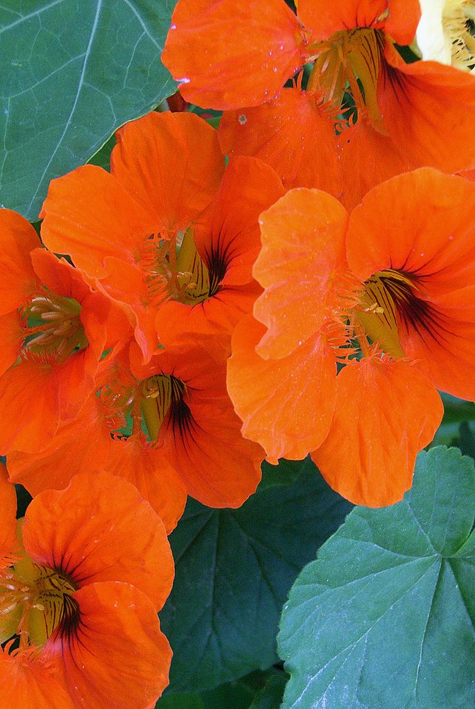 Orange nasturtiums.Love this flowers. We call them Taco de Reina , and they are edible.