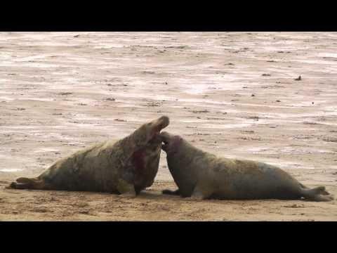 Zeehondencreche Pieterburen | Grijze zeehond