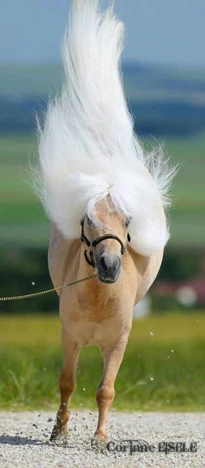 Jumping horse with long white manes - springend paard met lange witte manen