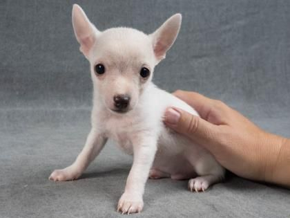 Adopt Nugget, a lovely 2 months 5 days Dog available for adoption at Petango.com.  Nugget is a Chihuahua, Short Coat / Terrier and is available at the National Mill Dog Rescue in Colorado Springs, Co. www.milldogrescue... #adoptdontshop #puppymilldog #res