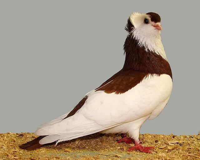 Red felegahazer tumbler pigeon