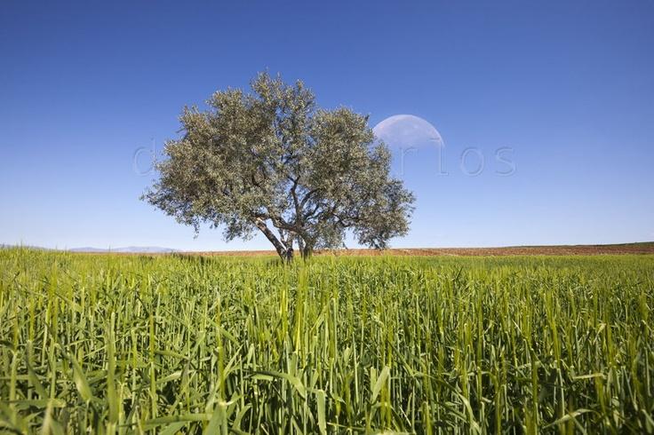 Tree in wheat field with the moon behind.  Árbol en campo de trigo con la luna detras.