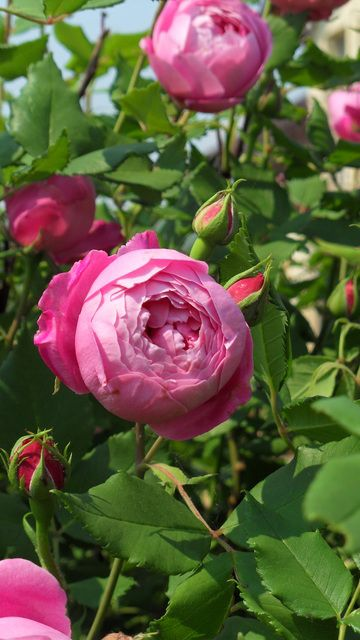 La reine Victoria, an old English rose, not a David Austin.  Masses of blooms, hardy and continuous repeater.  Lovely fragrance.  Smaller sized blooms,