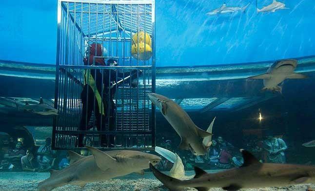 Un submarinista profesional y un voluntario alimentan diferentes tipos de tiburones dentro de un acuario, en el Parque Oceánico de Manila (Filipinas)