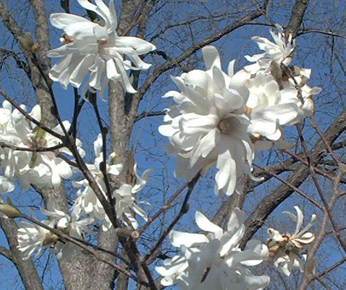 Star magnolias are the first flowering trees to bloom for me in spring. Here are some tips for growing them: http://landscaping.about.com/od/floweringtrees/p/star-magnolias.htm