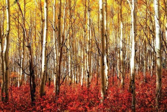 Birch grove Aspen Grove Red - plakat